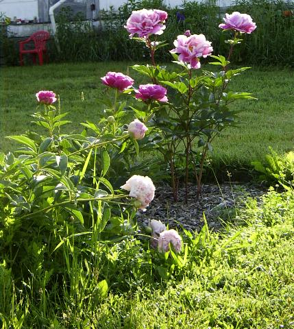 flopping peonies-smaller
