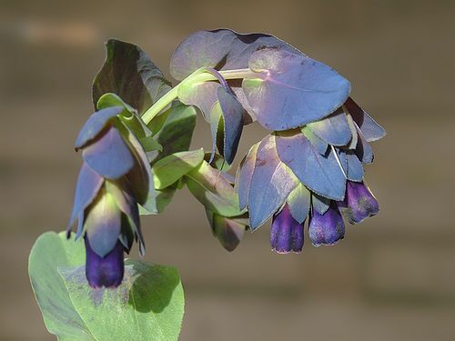Cerinthe major 'Purpurascens' photo by manxie