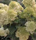 Hydrangea 'Limelight' - Photo courtesy Proven Winners