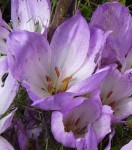 Colchicum 'The Giant'