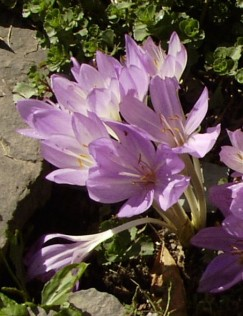 Colchicum byzantinum in the ell of the house