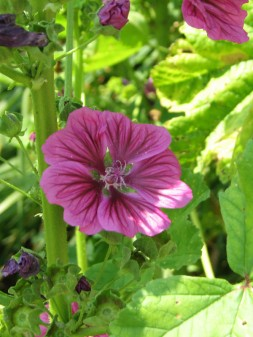 seedling from Bibor Felho malva
