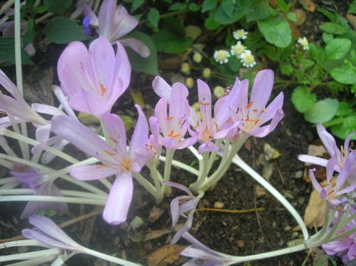 Bub's colchicums - Photo by Talitha Purdy taken September 30, 2006