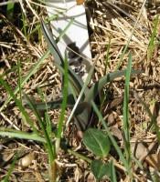 Spring foliage of Colchicum agrippinum