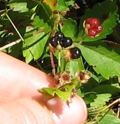 Fruit of mystery vine