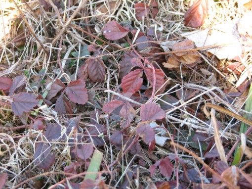 Red foliage of mystery vine