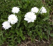 Double bloodroot - Photo taken by Justin in May 2003