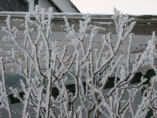image of twigs edged with frost