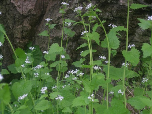 Garlic mustard - photo taken by Justin on May 14, 2006