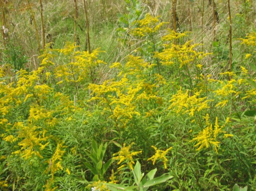 roadside goldenrod Photo by Kathy Purdy on August 16, 2006