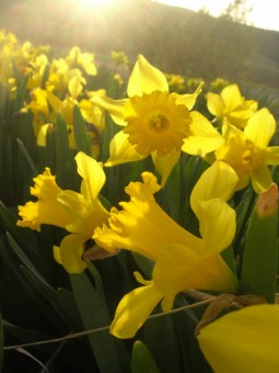 image of yellow trumpet daffodil