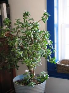 image flowering jade plant