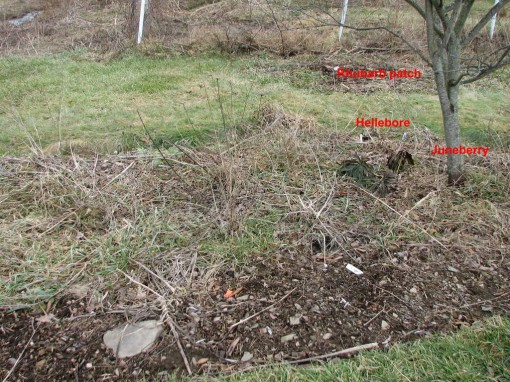 image of partially weeded juneberry bed