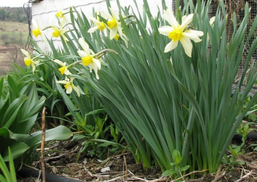 image of a narcissus I call Kathy's Sweetheart
