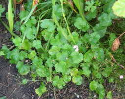 Mallow seedlings