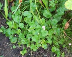 Mallow seedlings