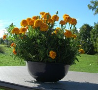 image of a bowl of marigolds