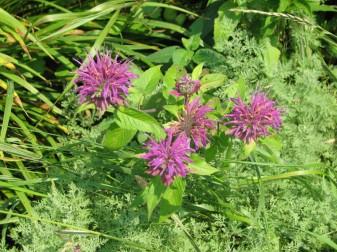 'Bluestocking' bee balm