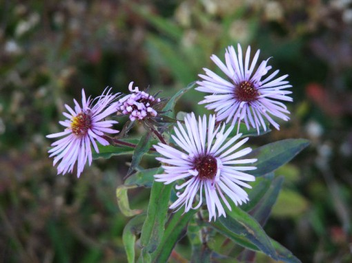 A pale aster