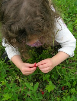 image of a little girl laying on her belly picking wild strawberries