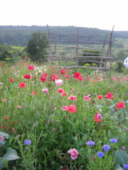 Poppies with trellis