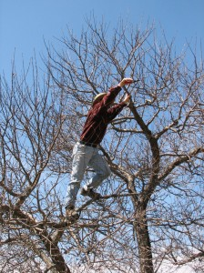 image of man standing on a branch pruning an apple tree - photo by Cadie
