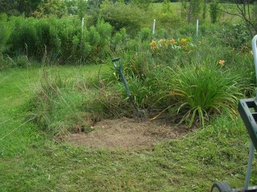 A small space cleared in the Juneberry bed