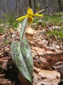 Trout lily - Photo taken by Cadie on April 25, 2006