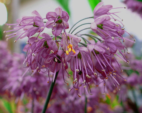 Allium thunbergii 'Ozawa' photo by wynd