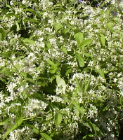white flowered plant