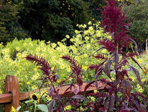 Image of Lemon Queen perennial sunflower and Hopi Red Dye amaranth taken by Rob Cardillo and featured on p. 25 of Fallscaping by Ondra and Cohen
