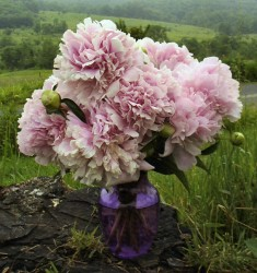 Peony 'Aimee's Pink Petticoat' in a vase