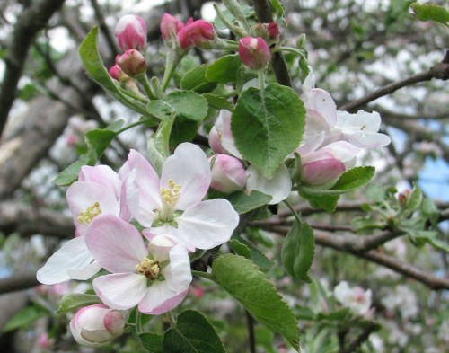 Apple blossoms - Photo by Rundy 2006