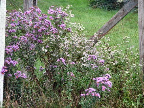 Image of asters blooming