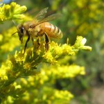 Image of honeybee on goldenrod