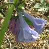 Virginia bluebells - Photo by Cadence 2006