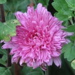 Image of a lilac chrysanthemum flower
