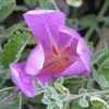 Image of purply-pink colchicum blossom emerging from grey-green foliage