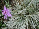 Image of purply-pink double colchicum with white variegated ornamental grass