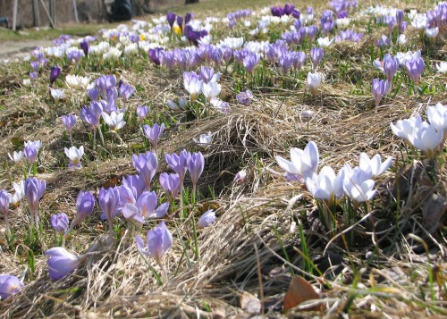 Image of crocuses growing on a slope
