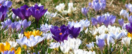 Crocuses in March 2007
