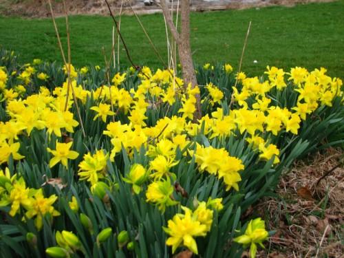 Daffodils galore!