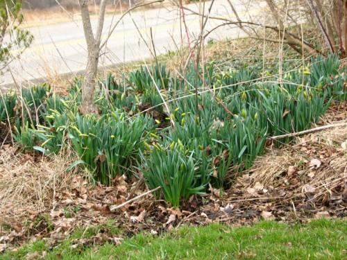 Daffodils on the verge of blooming
