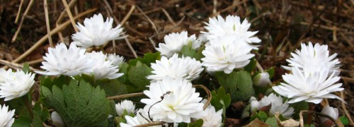 Double bloodroot - passalong from Bub