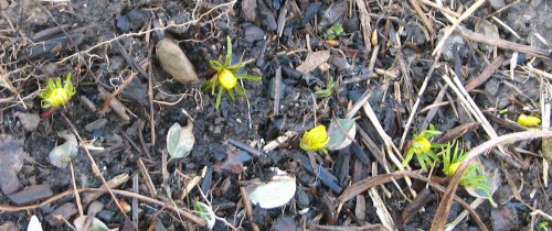 Image of emerging eranthis flowers