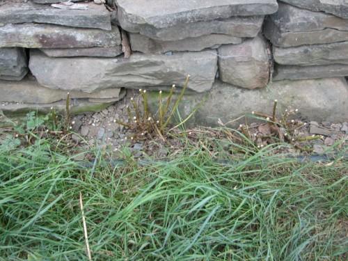 Image of three feverfew plants cut back to encourage rebloom