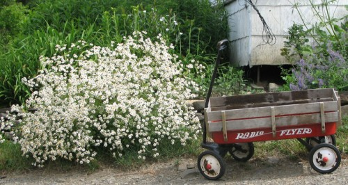 Image of a feverfew as big as a child's wagon