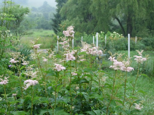 Image of filipendula in bloom