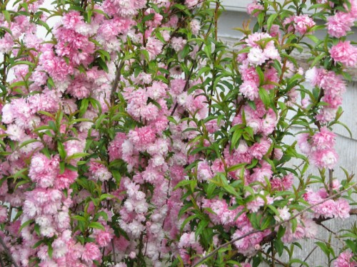 Detail of flowering almond