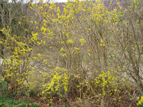 Sparsely blooming 'Meadowlark' forsythia